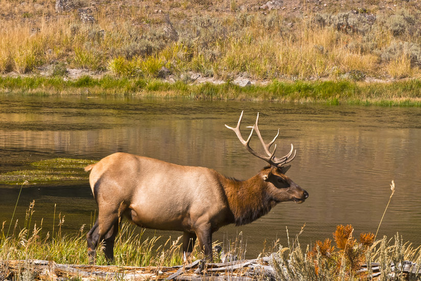 Elk on the Madison River