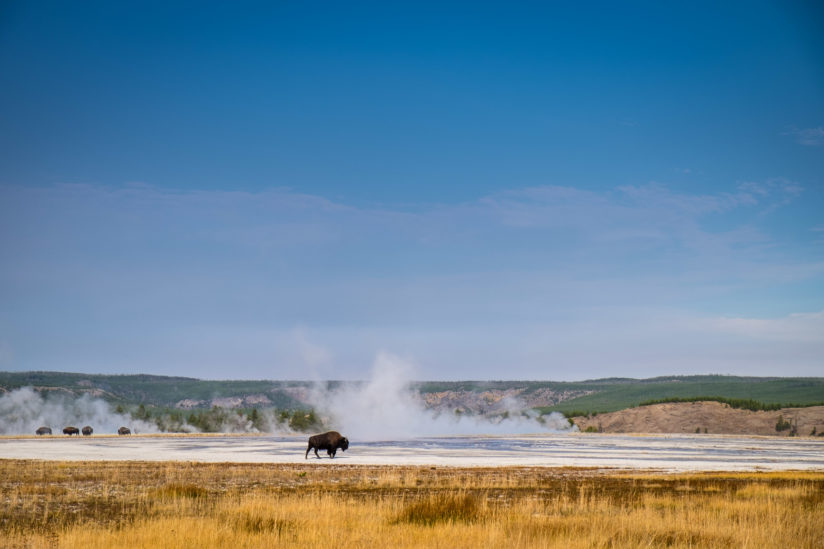 Bison Leaving the Herd