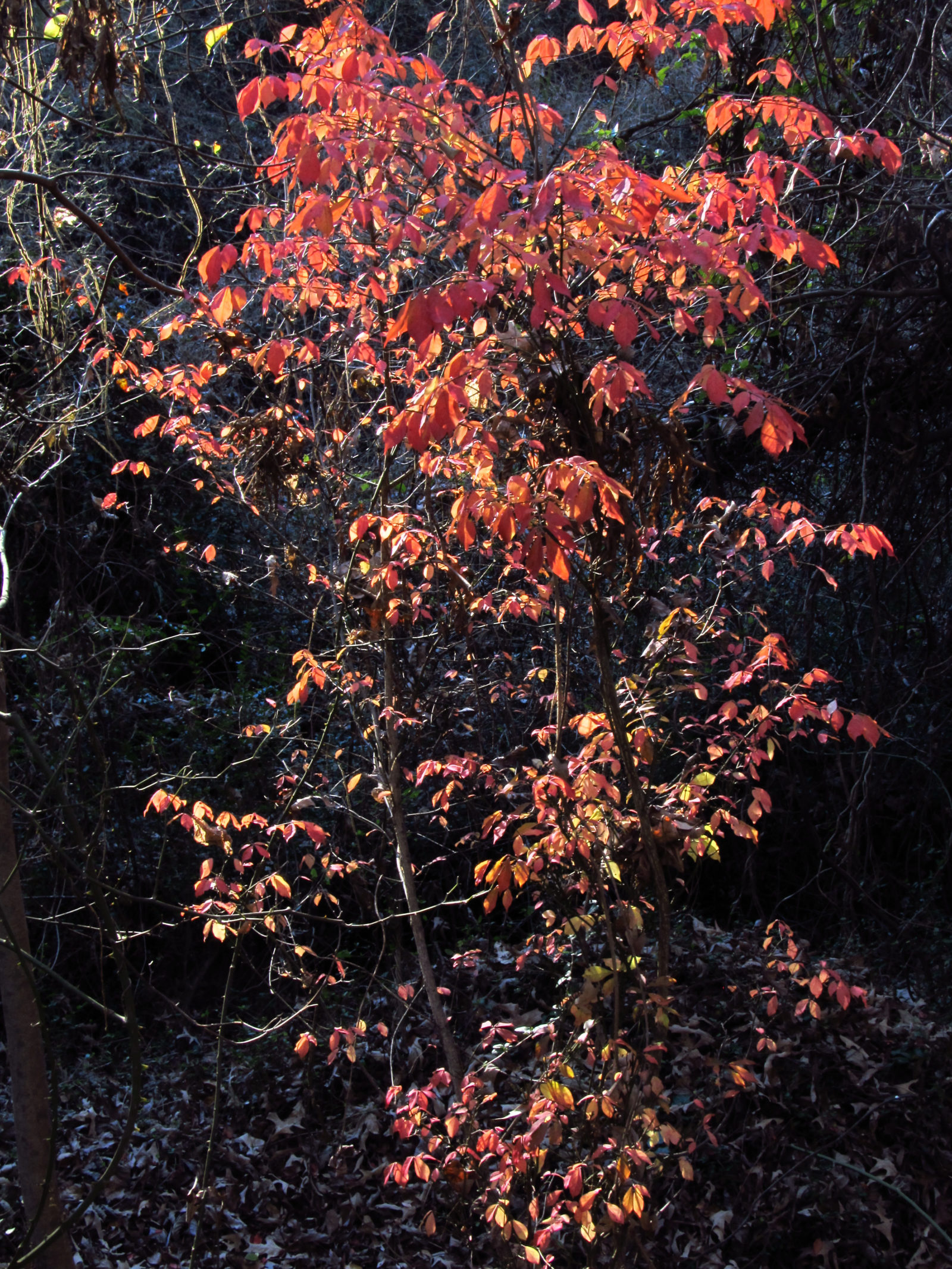 Sunlit Fall Tree in the Woods