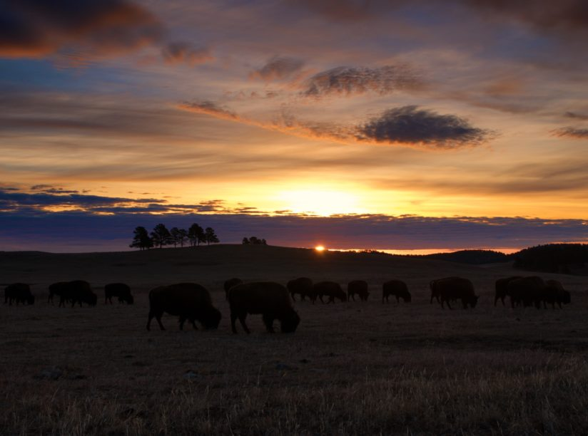 Bison Herd Sunrise