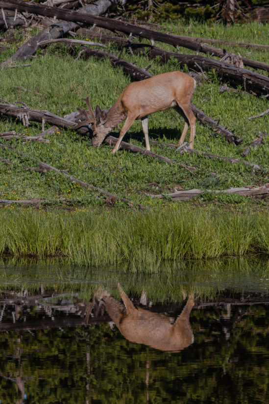 Deer's Reflection
