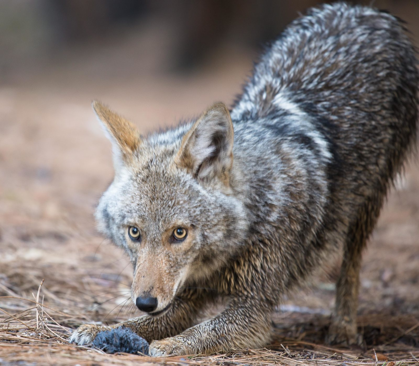 Coyote morning play