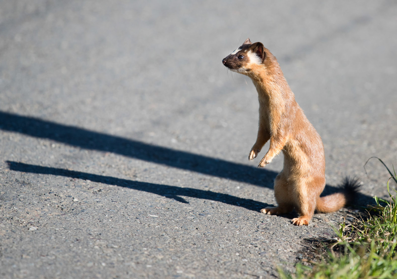 A weasel and his shadow