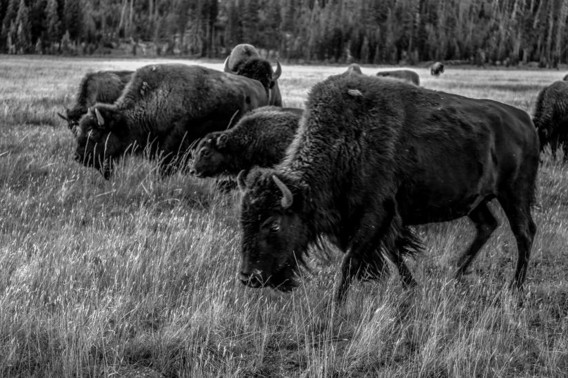 Yellowstone Herd