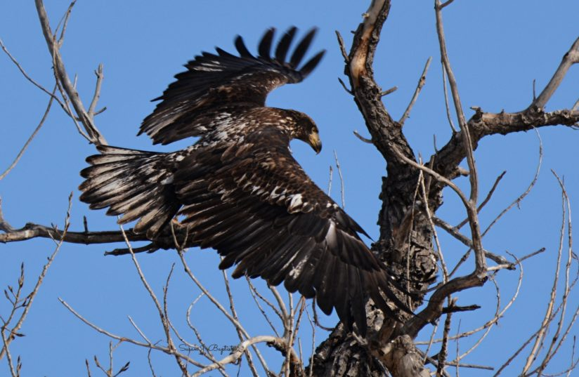 Juvenile Eagle Lands