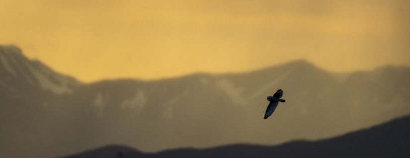 short eared owl in yellow sunset