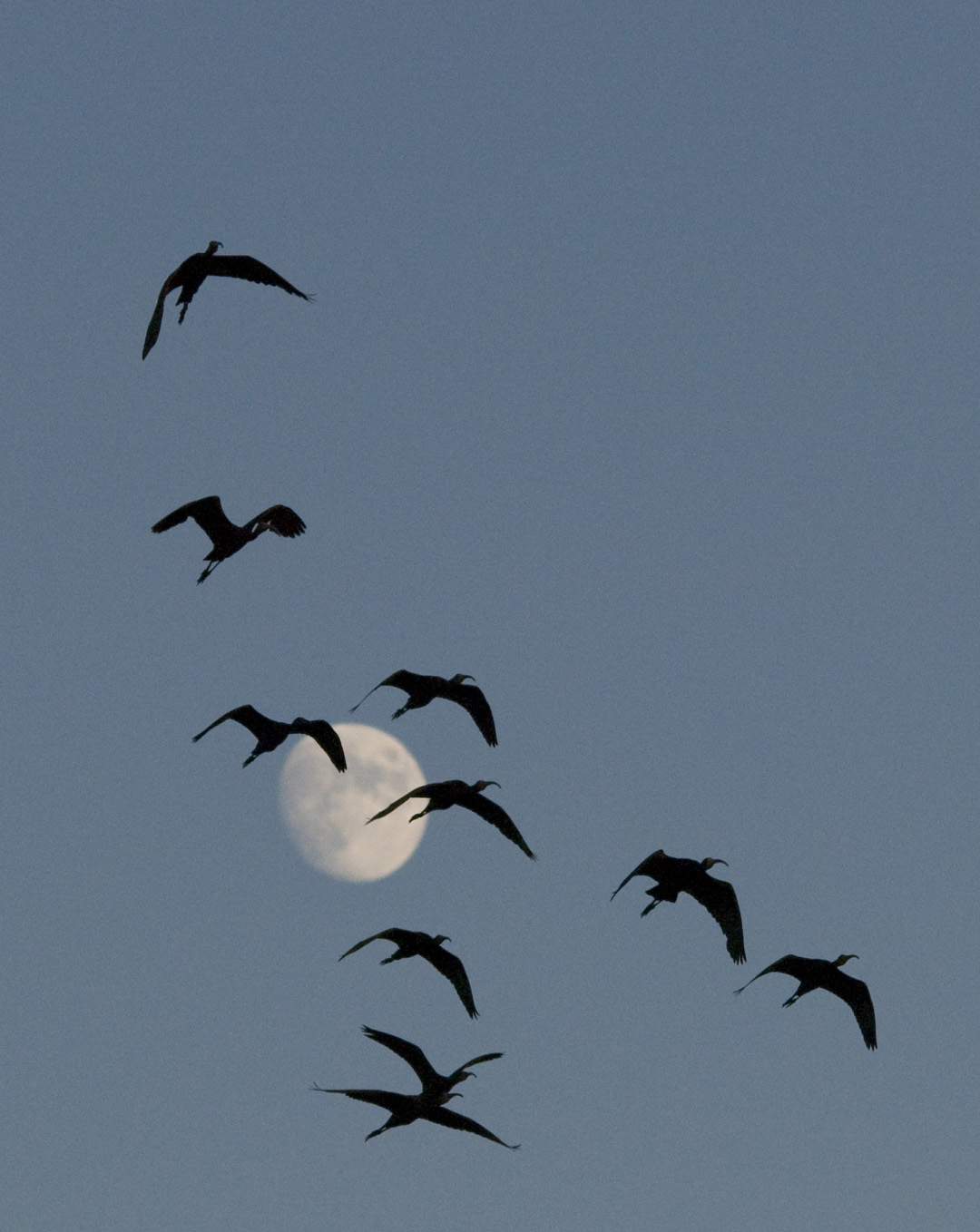 white faced ibis in moon