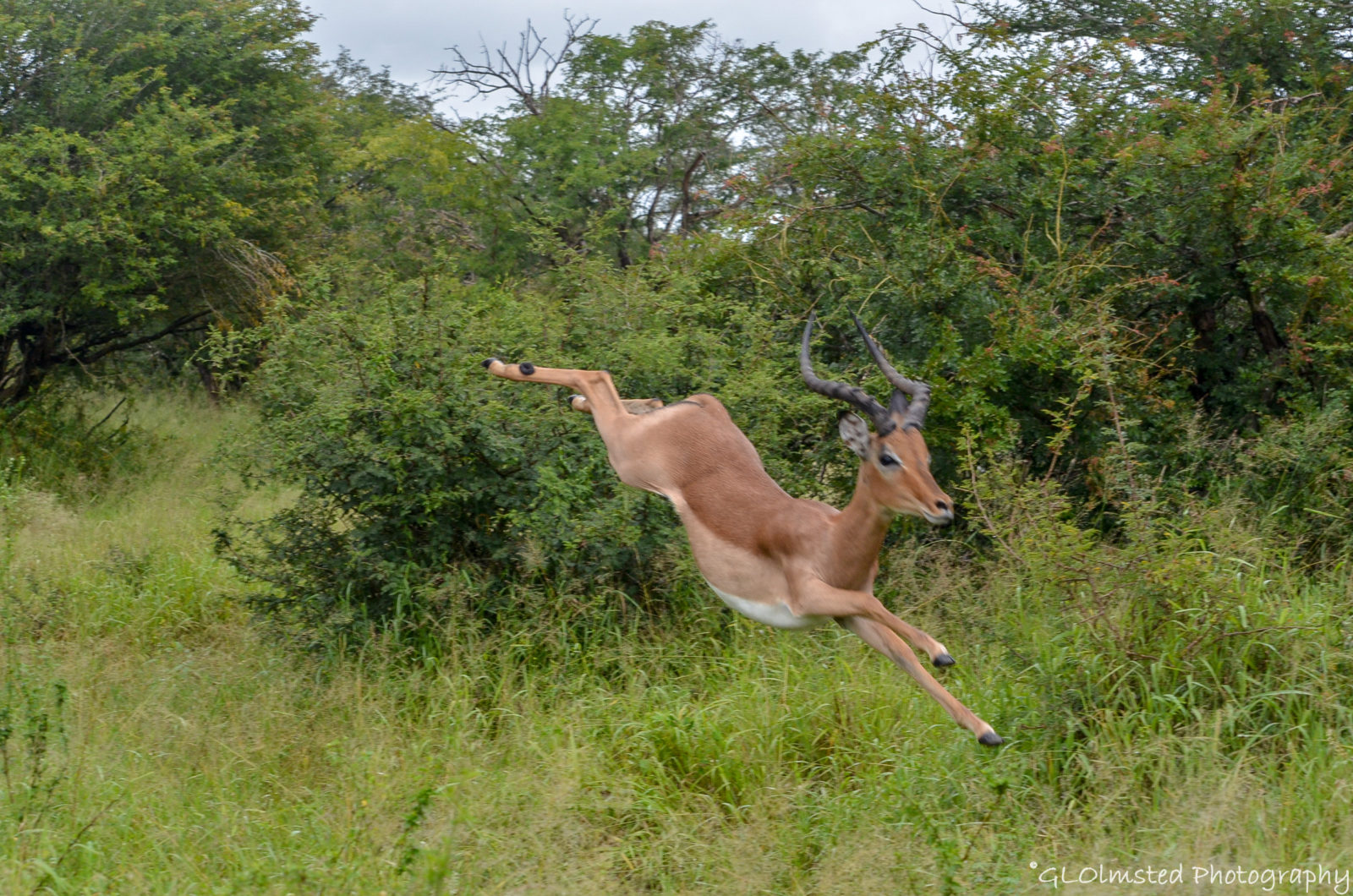 Impala on the run – Kruger NP South Africa