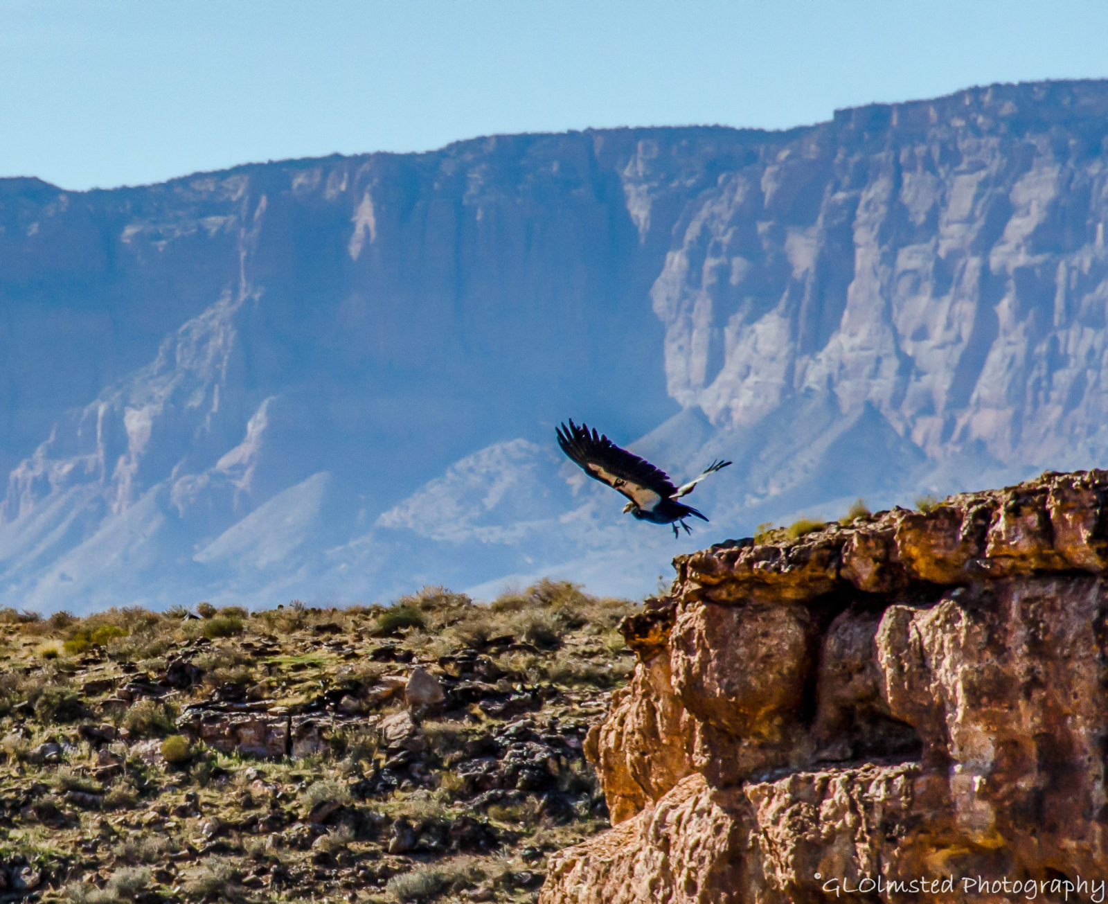 California Condor – Marble Canyon AZ