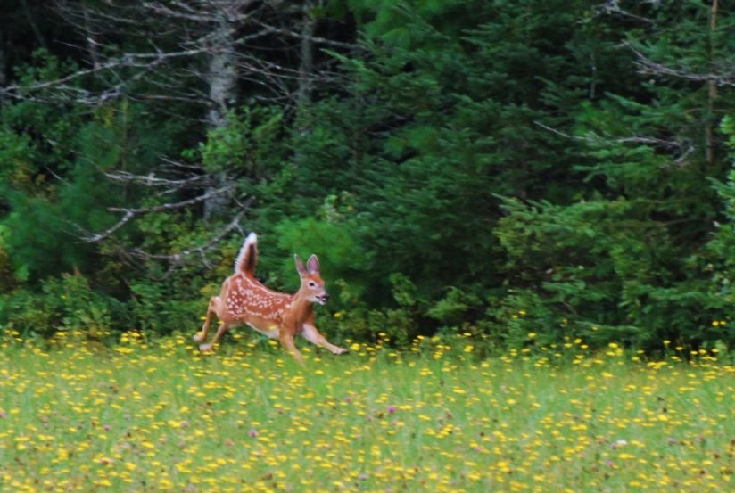 Frolicking Fawn