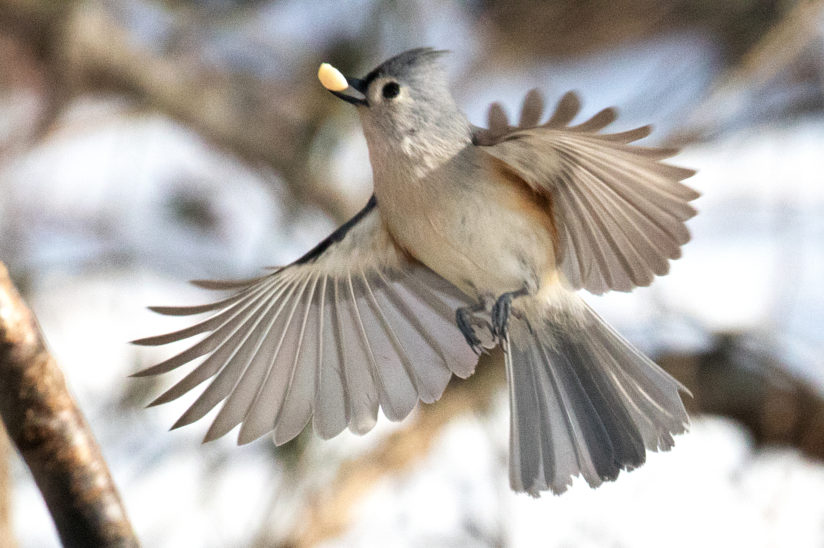 Tufted Titmouse in Flight