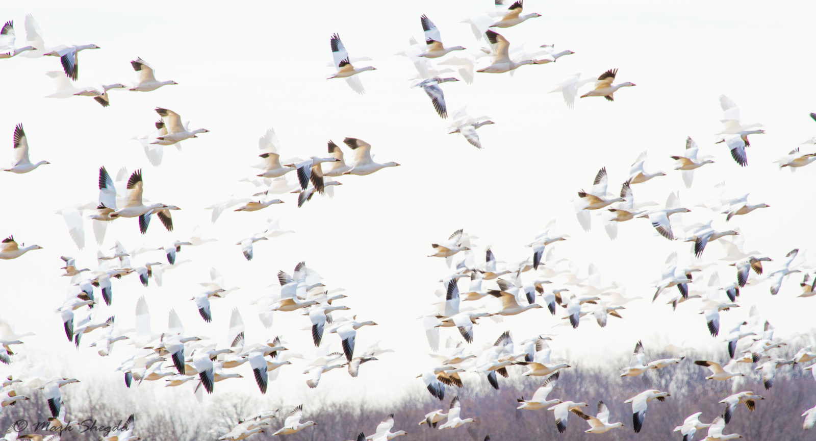 None Such Snow Geese