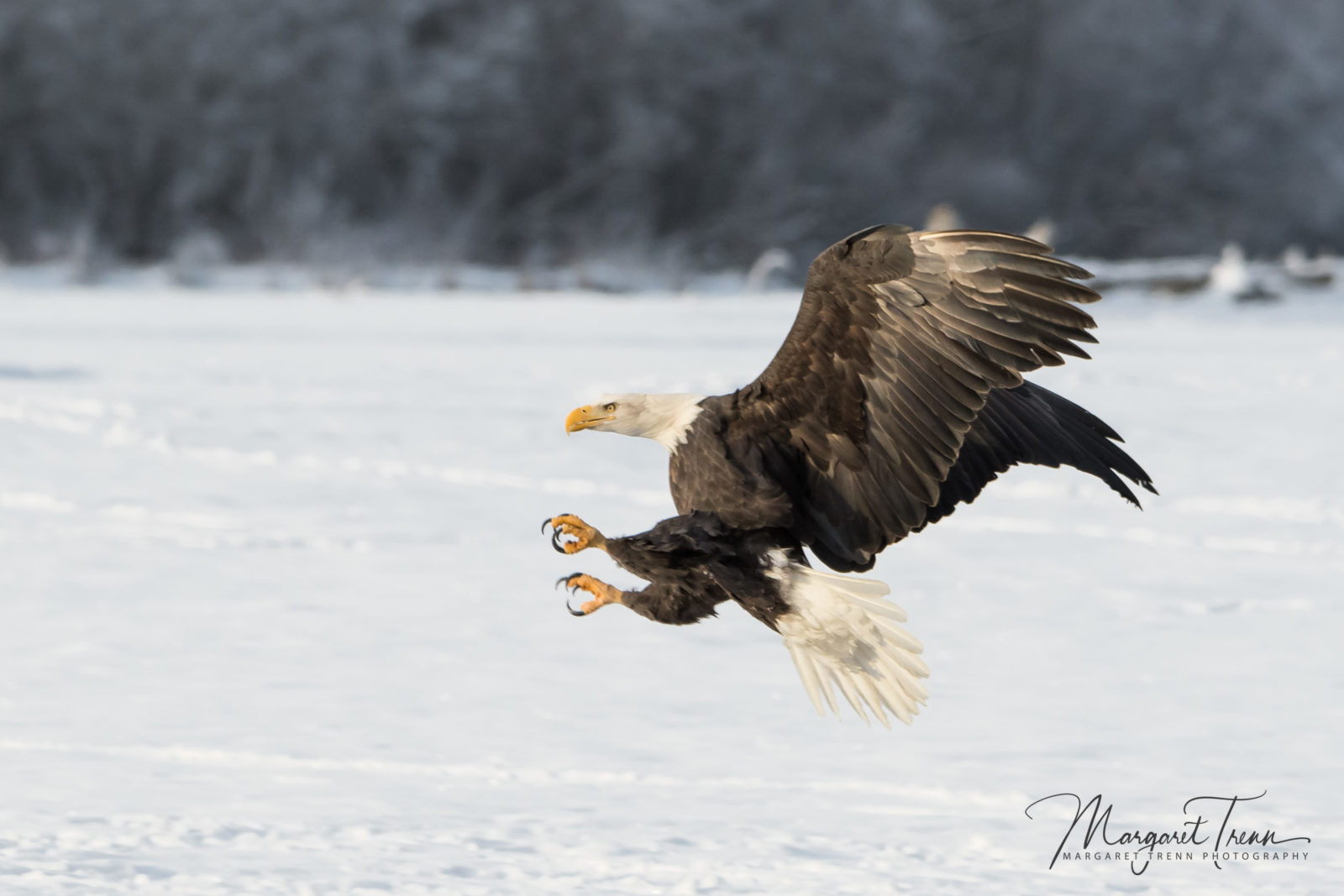 Bald Eagle argument