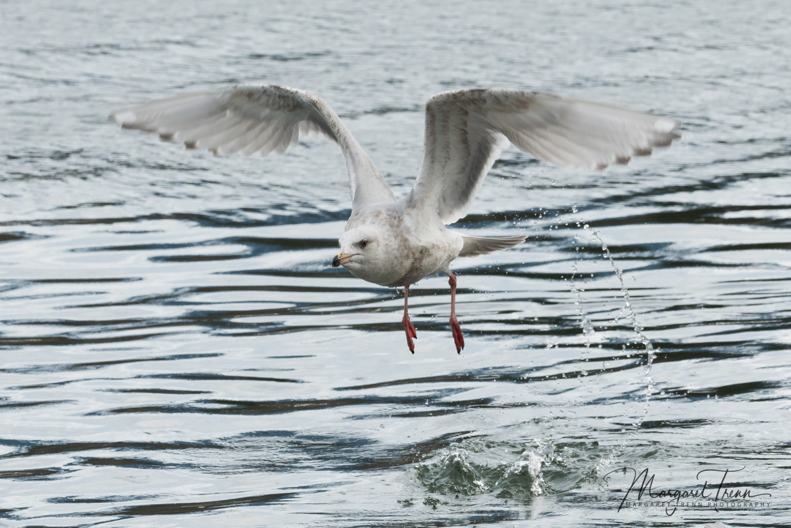 Glaucus Winged Gull takeoff