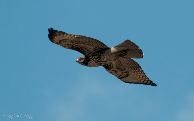 Red Tailed Hawk on the Hunt