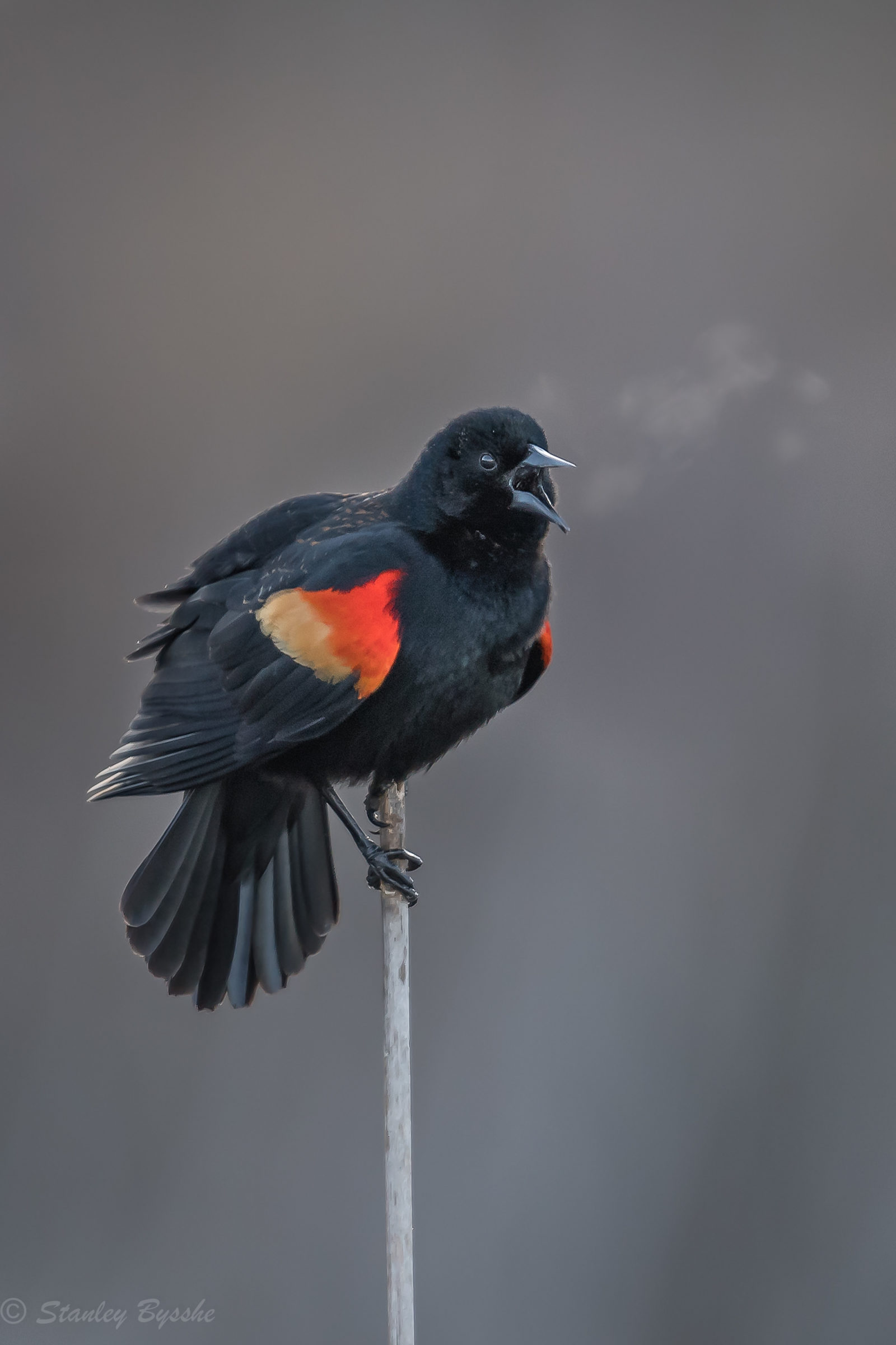 Red Winged Blackbird on a frosty morning