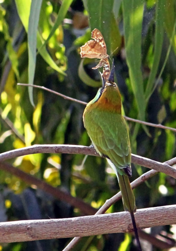 GREEN BEE EATER TOSSING THE PREY