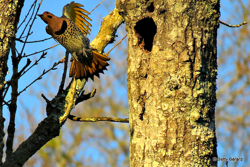 Northern Flicker Leaving The Nest