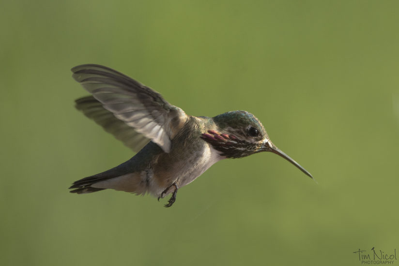 Calliope in Flight 2
