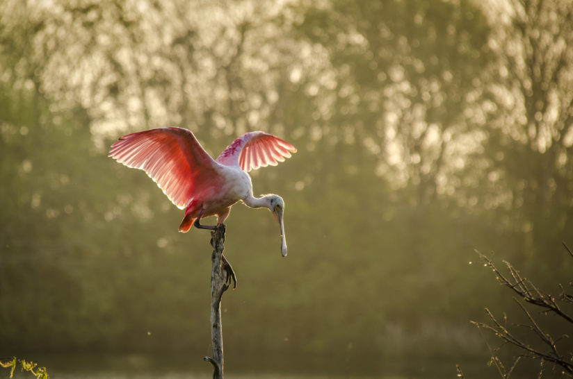 Perched Spoonbill