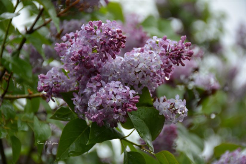 Lilacs After the Rain