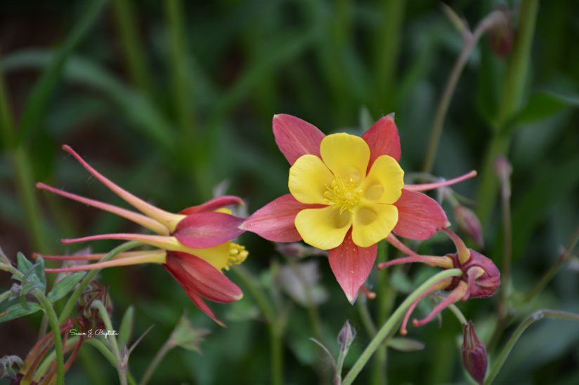 Columbines in Bloom