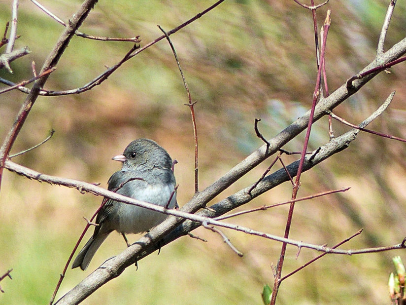 Junco in Spring