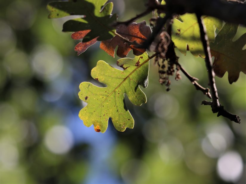 Leaf with Bokeh