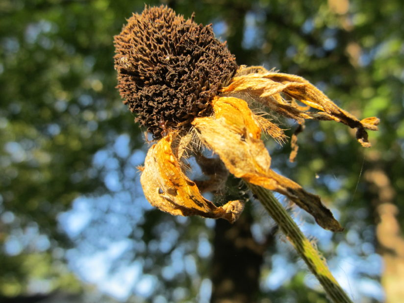 Dried Black-Eyed Susan