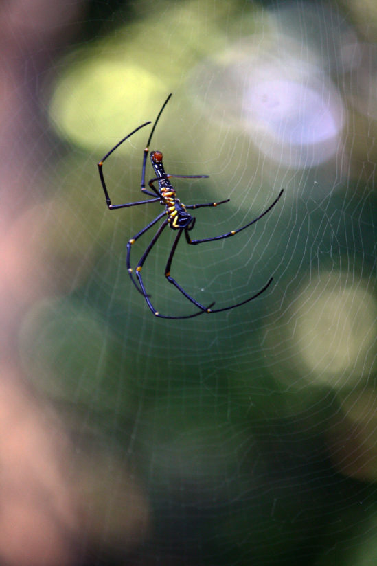 THE WOOD SPIDER ON THE WEB
