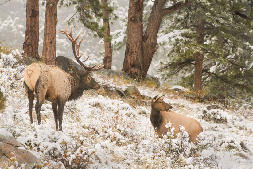 Rocky Mountain Bull & Cow Elk