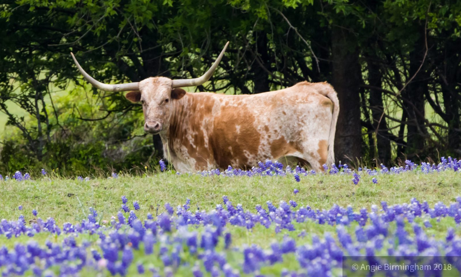 Longhorns and bluebonnets