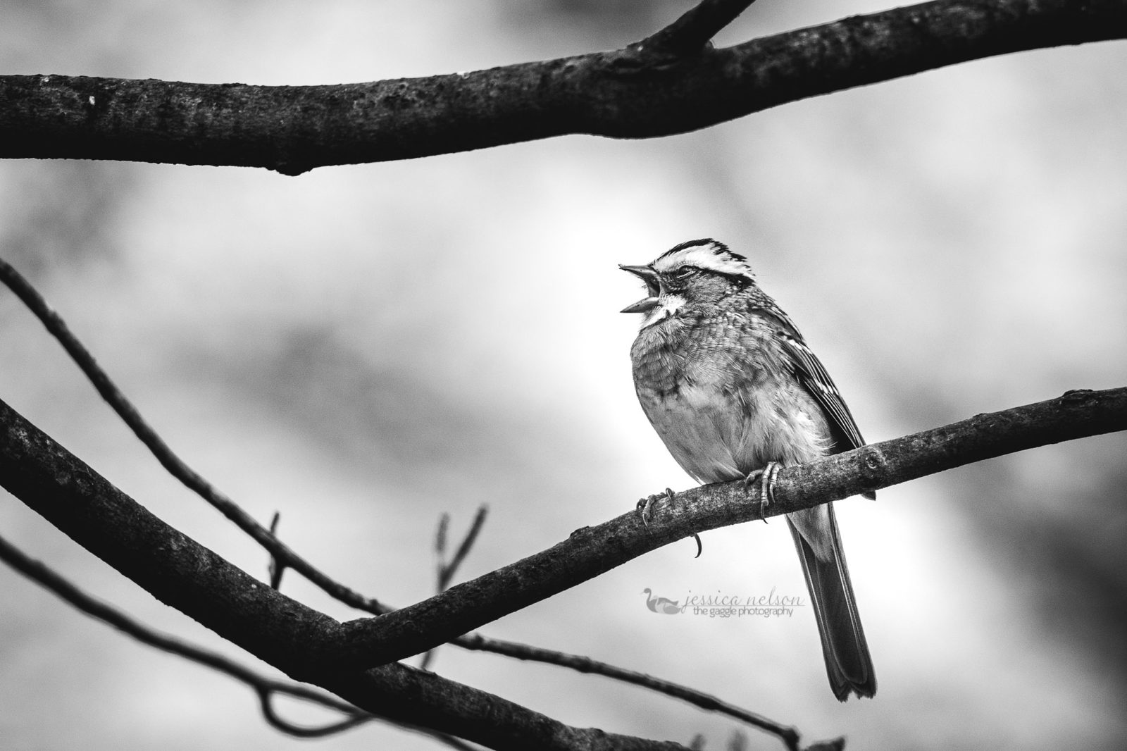 White Throated in BW