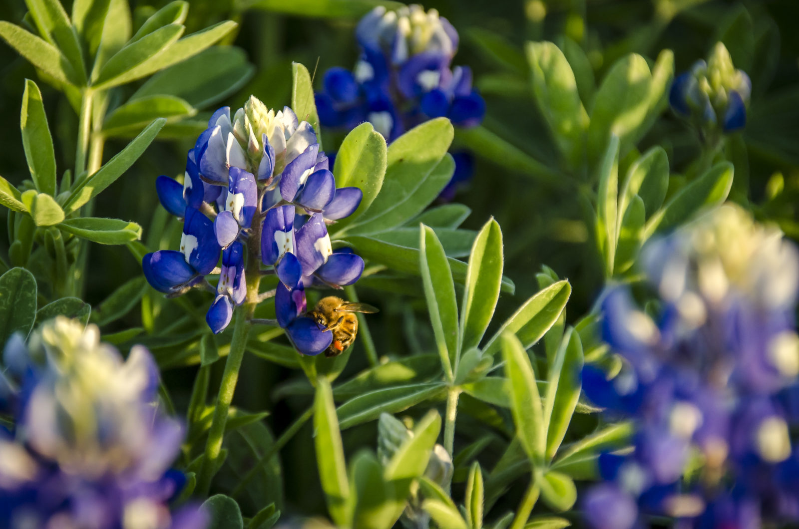 Busy Bluebonnet Bee