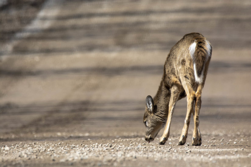 Young Deer in the Road