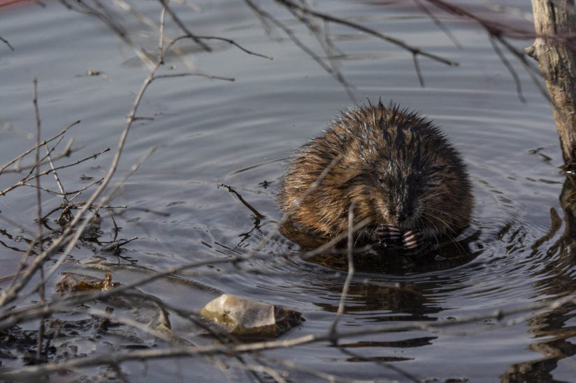 Muskrat Enjoying the Late Arrival of Spring