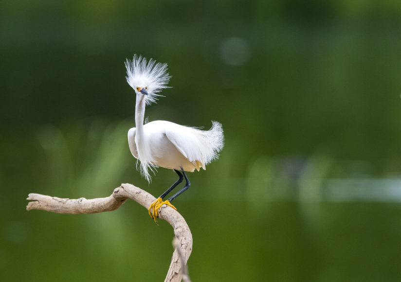 SNOWY EGRET ON A BREEXY DAY