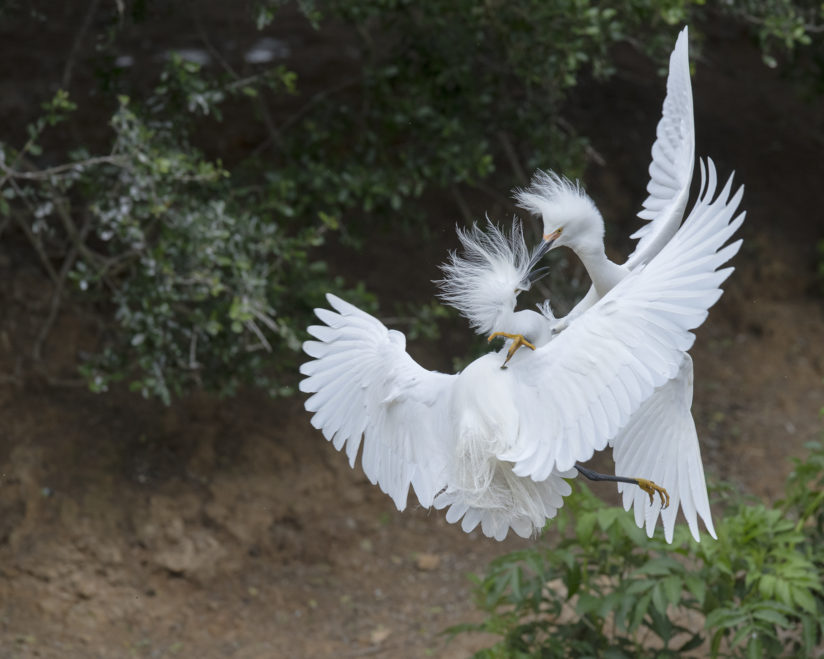 Snowy egret males contend fo females during nesting season