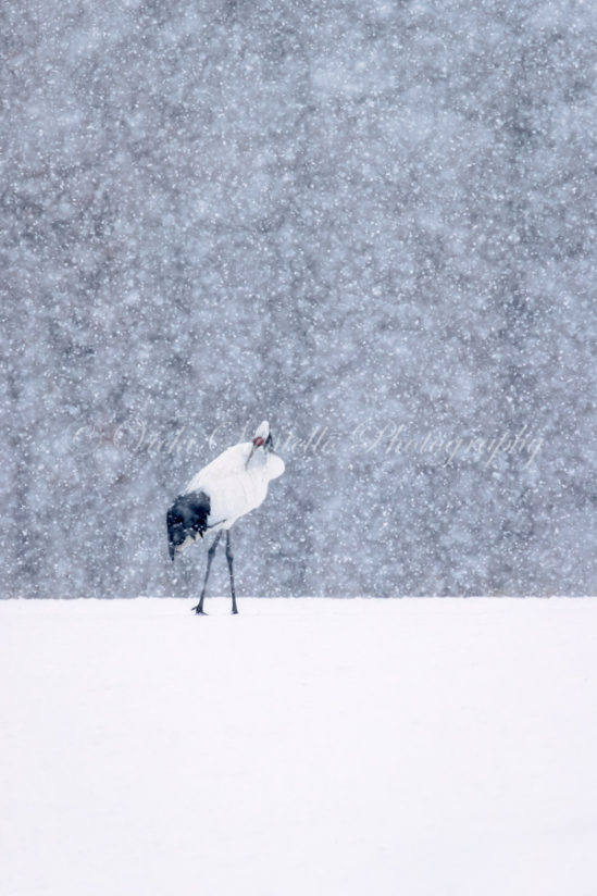 Snowfall and the Red Crowned Crane