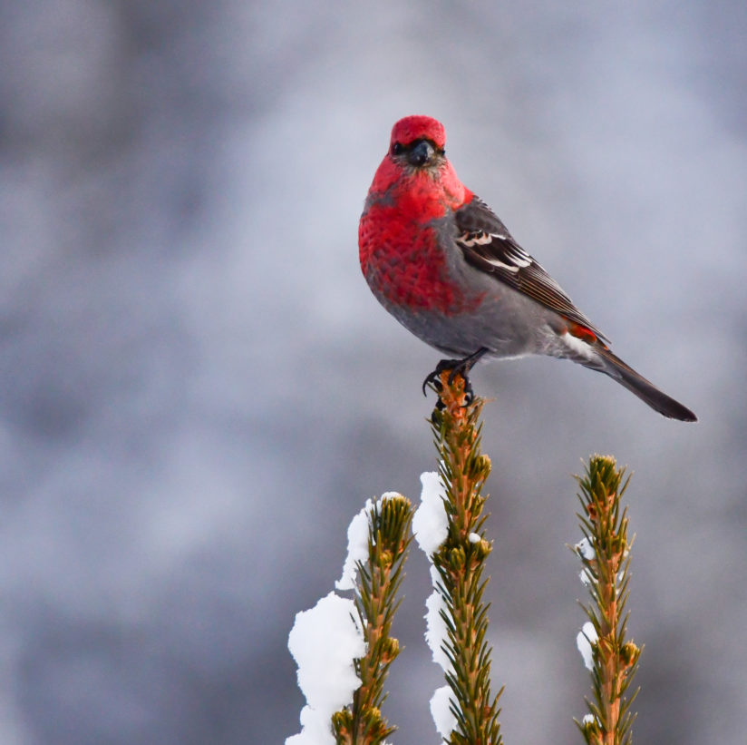 Pine Grosbeak on snowy spruce tree