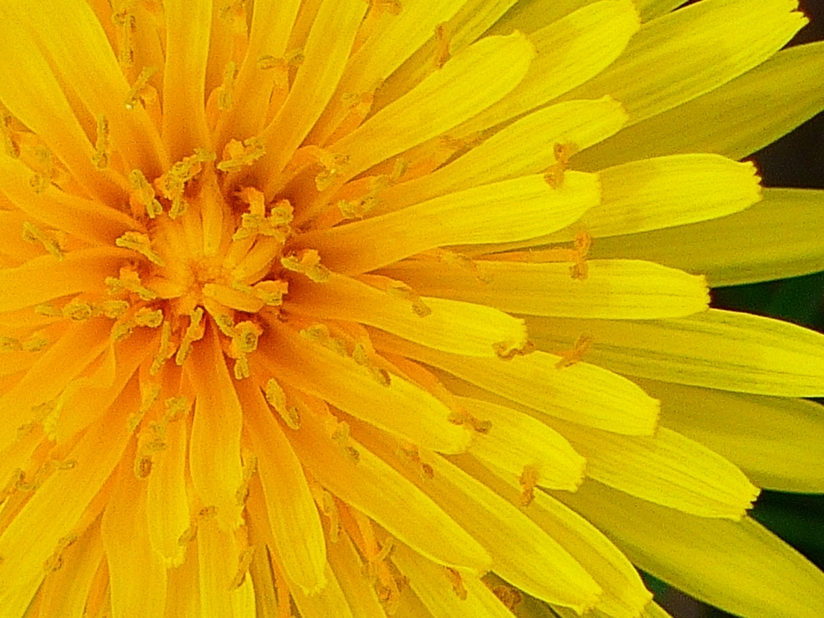 Dandelions are beautiful!