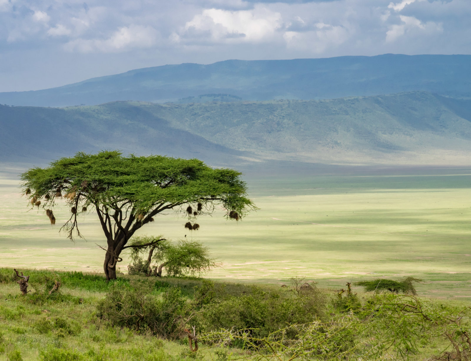 Acacia on the edge of Ngorongoro