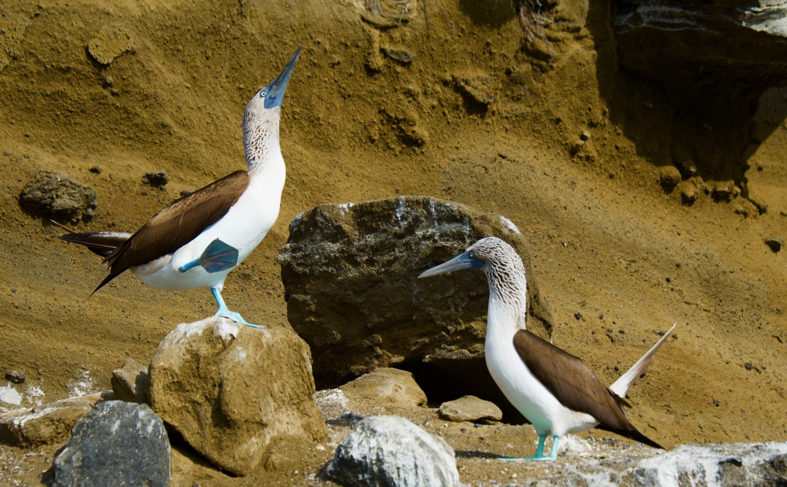 Mating dance of the Blue Footed Boobie