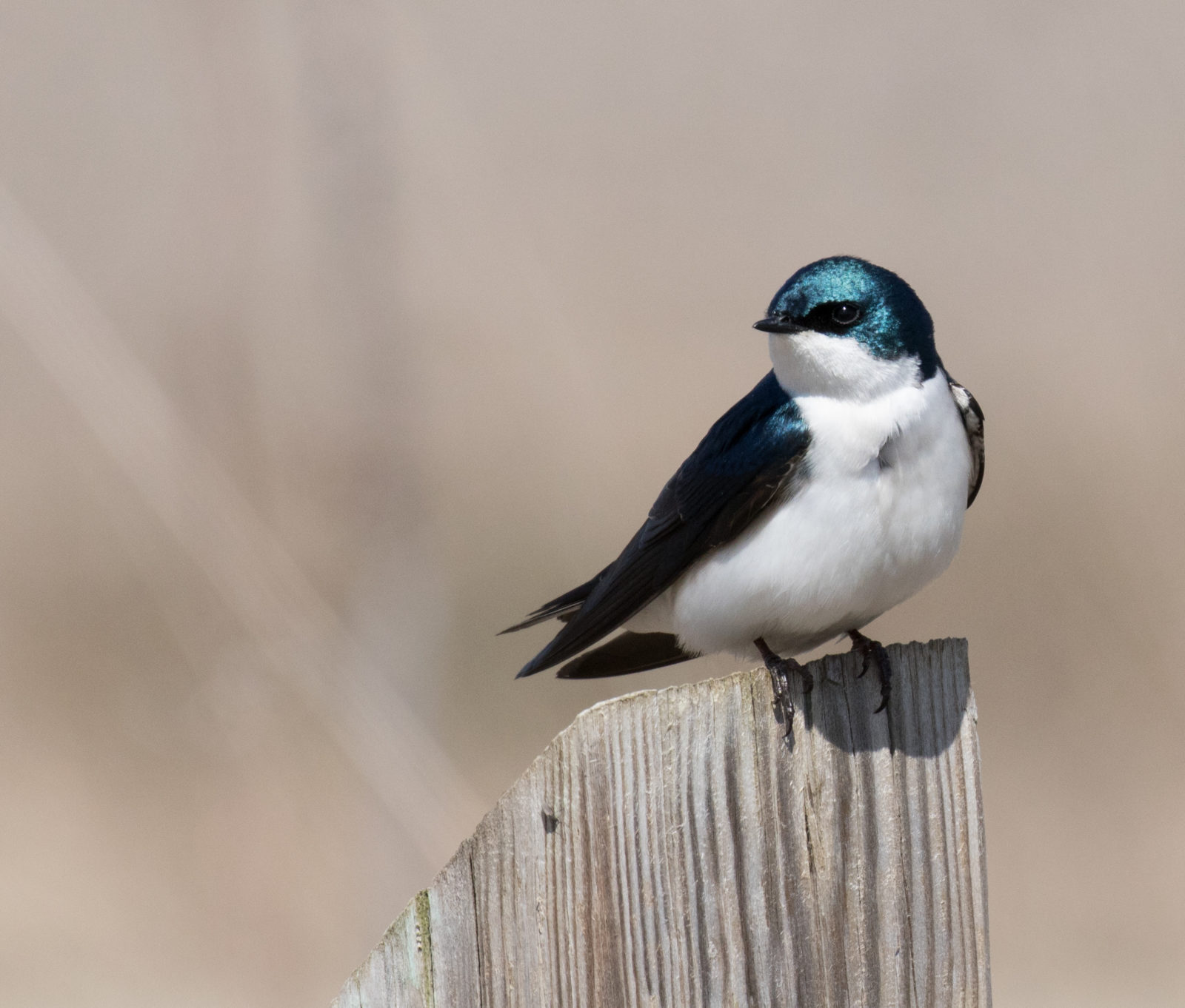 Resting Tree Swallow