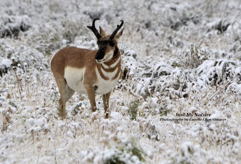 Pronghorn Snowstorm