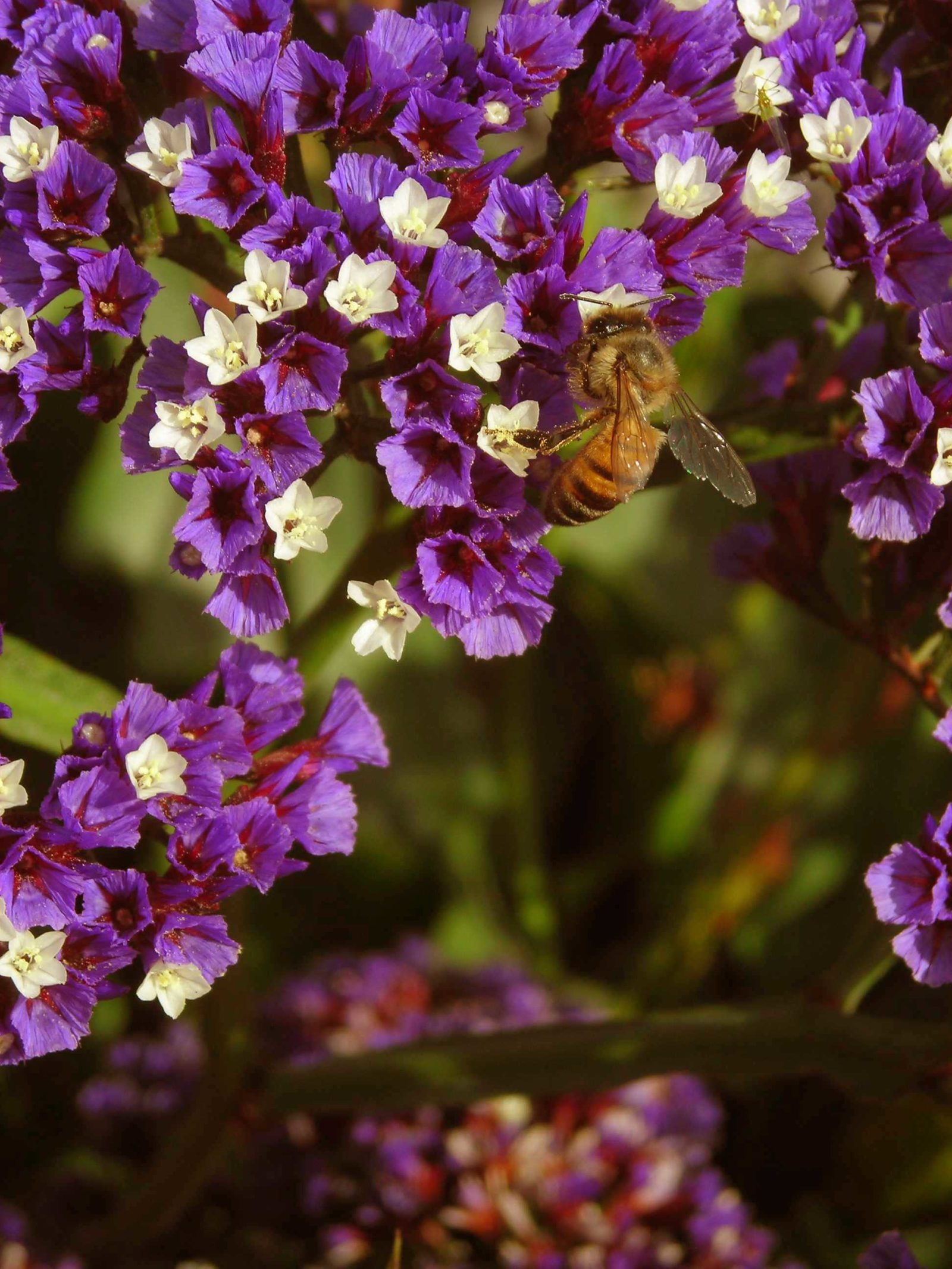 Honeybee and Purple Blossoms