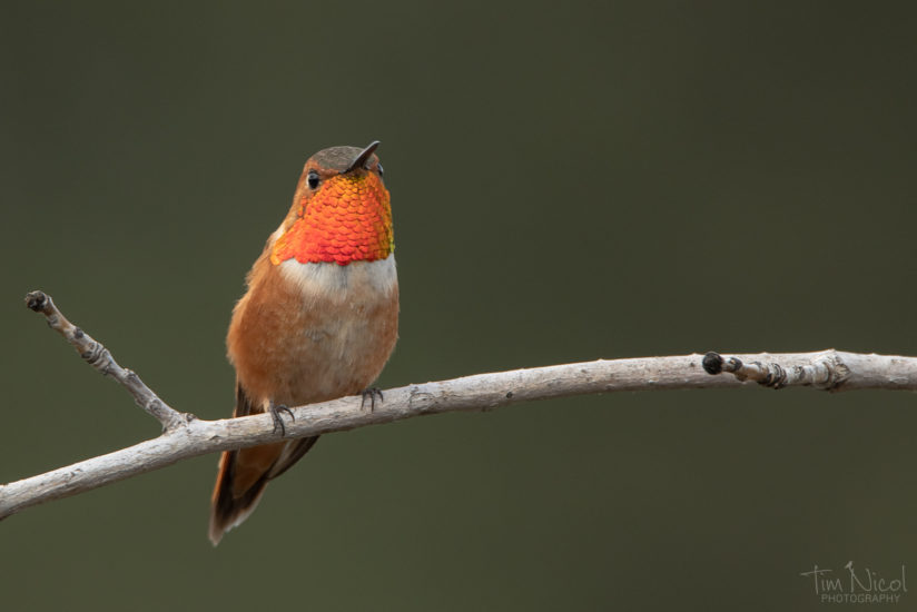 Rufous in the Garden