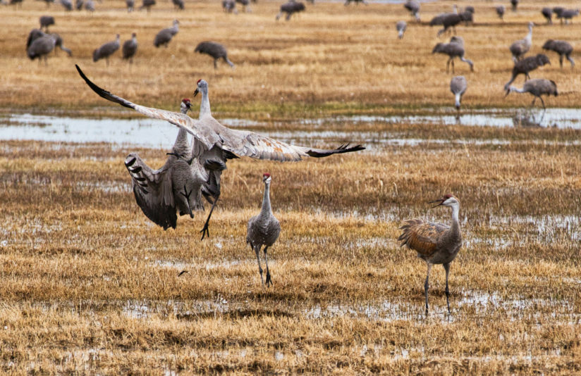Sandhill Cranes doing their dance.