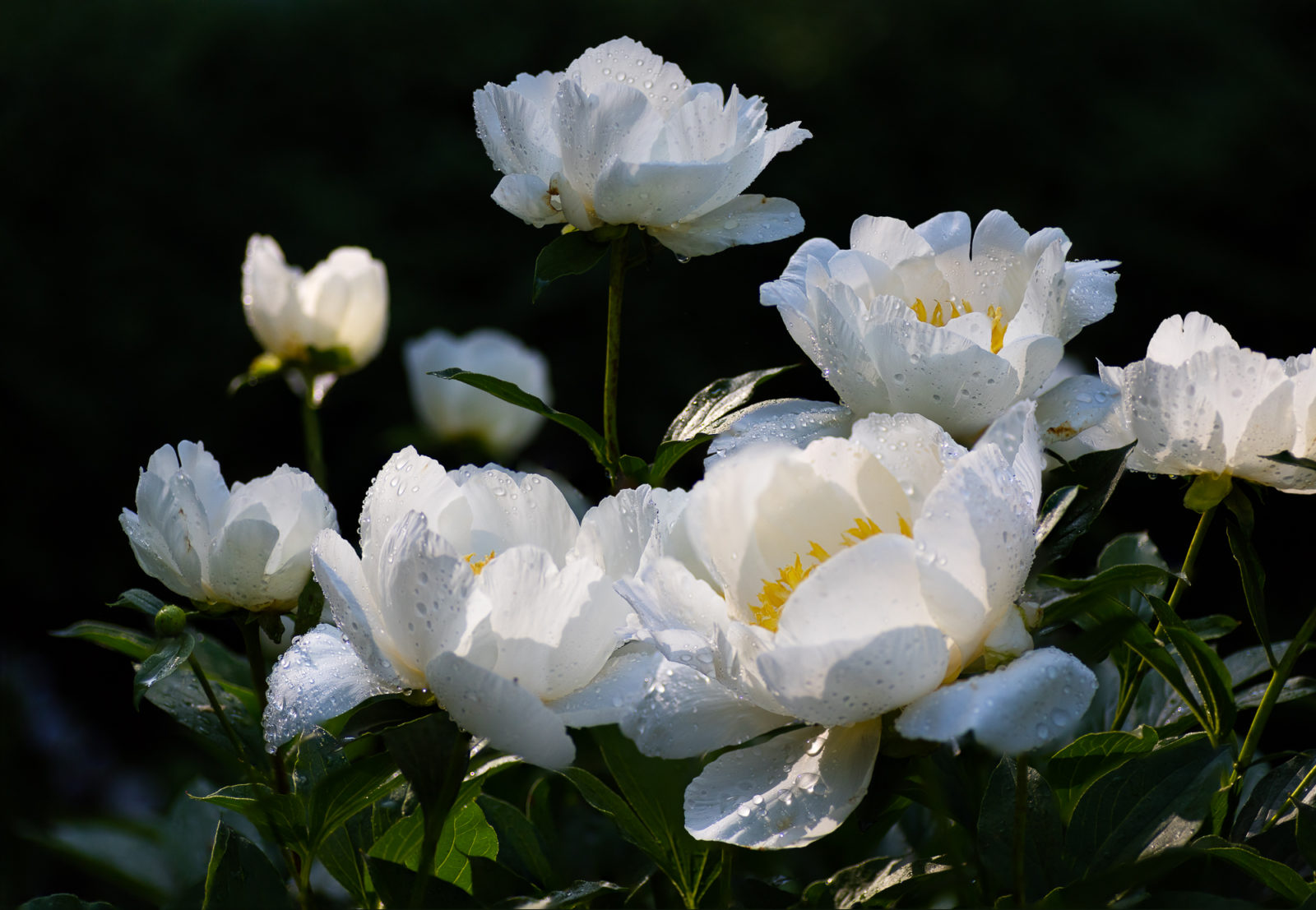 Peonies Morning light