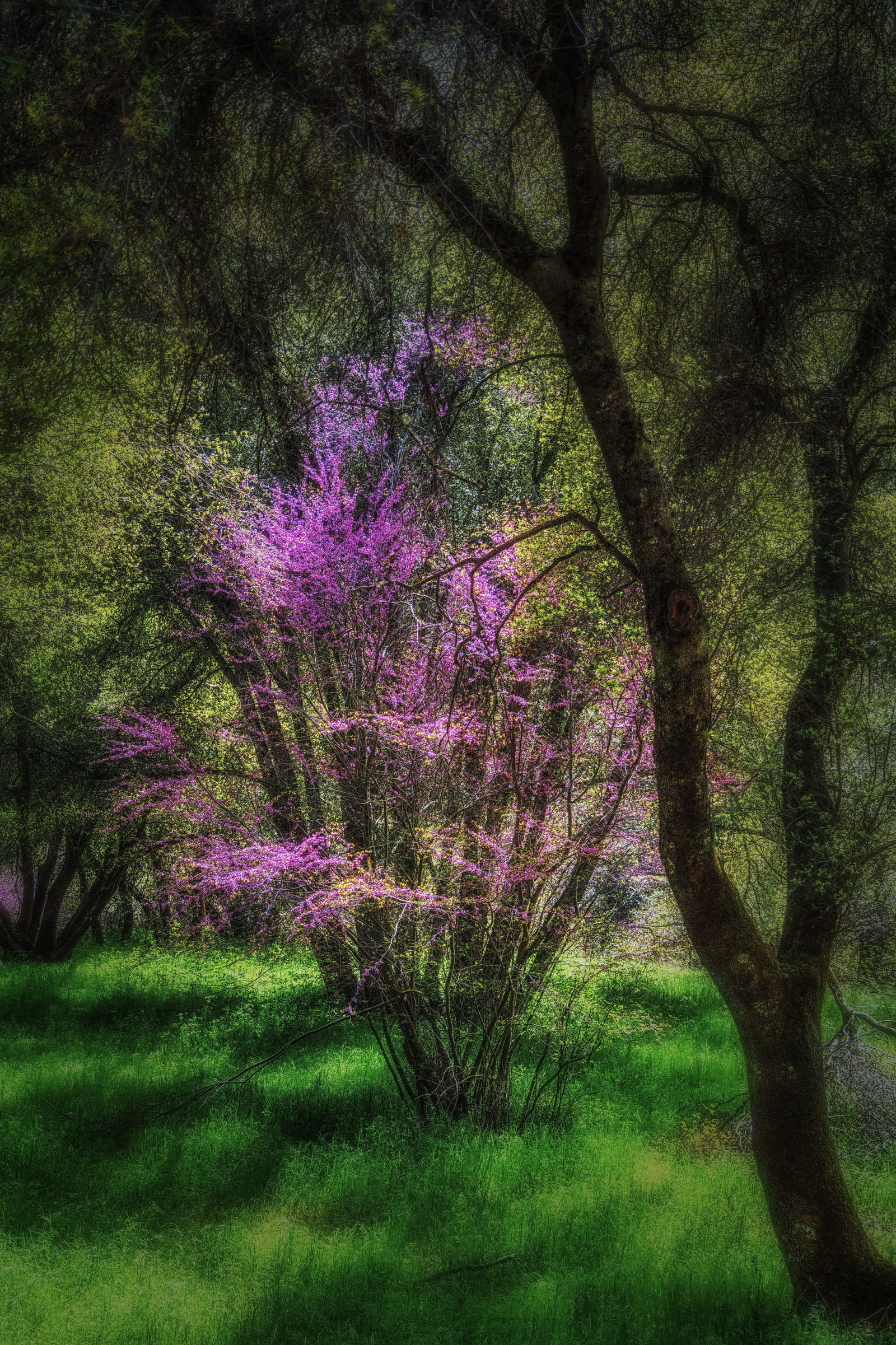 Merced River Redbud